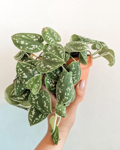 pothos-5-plantes-facile-entretien-petite-jungle-urbaine