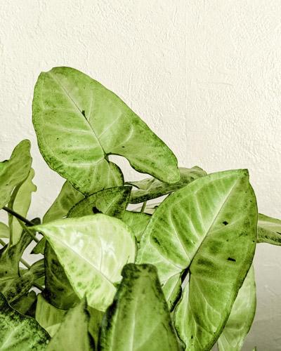 syngonium-5-plantes-facile-entretien-petite-jungle-urbaine